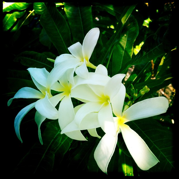 White Plumeria Flowers IV  10-25-16