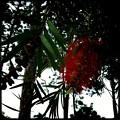 Bottlebrush Tree 10-28-16