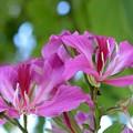 Hong Kong Orchid Tree 11-13-16