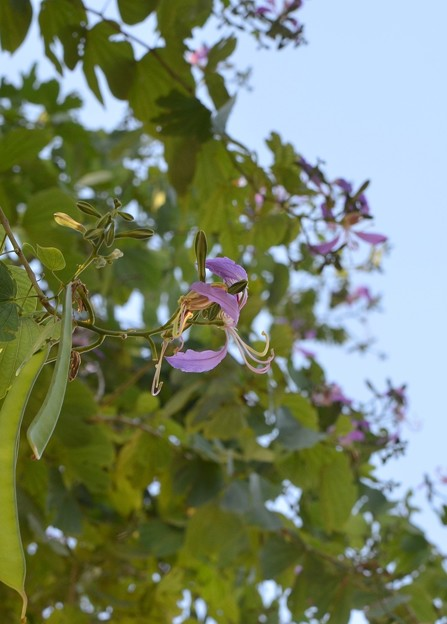 Phanera purpurea 11-13-16