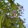 Photos: Phanera purpurea 11-13-16