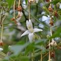 写真: Tree Jasmine 11-15-16
