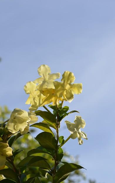 Brunfelsia americana 11-29-16