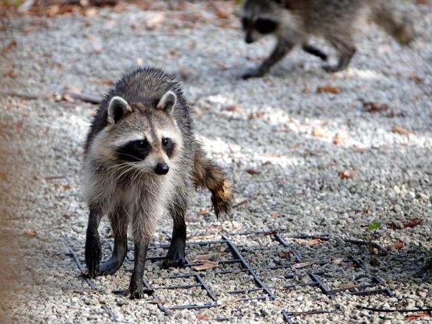 Raccoons 12-30-16