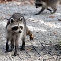 Photos: Raccoons 12-30-16