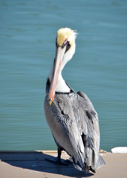 Photos: Brown Pelican 2-4-17