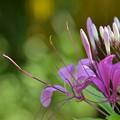 Photos: Spider Flowers 1-28-17