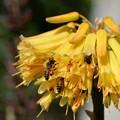 Photos: Aloe and Bees 1-28-17