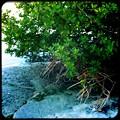 写真: Mangrove 2-4-17