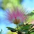 Photos: Calliandra Surinamensis 2-20-17
