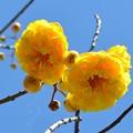 Cochlospermum vitifolium 'Flore Pleno' 2-20-17