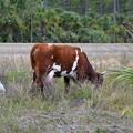 Cattle Egret? 3-25-17