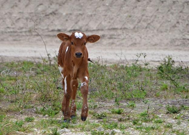 Calf I 3-25-17