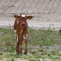 Photos: Calf I 3-25-17