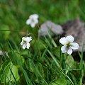 Northern White Violet 4-21-10