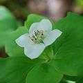 写真: Bunchberry 5-20-10