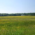 Buttercup Field 5-31-10