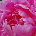 Photos: Pink Peony 6-13-10