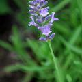 Lavender 'Munstead' 6-26-10