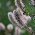 Photos: Rabbit's-Foot Clover