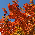 写真: Maple in Orange