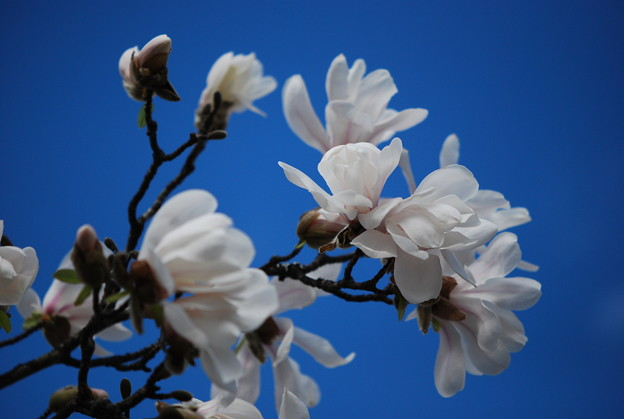 Magnolia at the Library 4-30-11