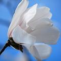 Photos: Magnolia in the Sky