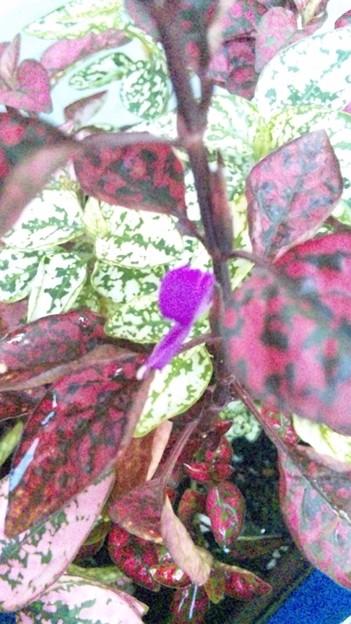 ヒポエステスに花がついてた…!小さくて形も地味で色だけ派手かわい...