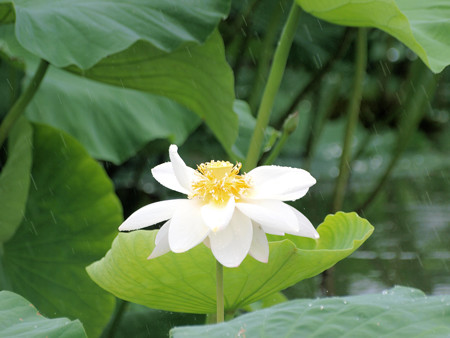 雨の日のハスの花