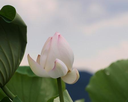 風の日のハスの花