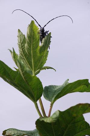 葉陰のカミキリムシ
