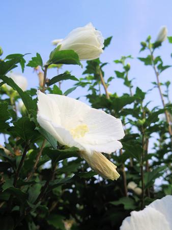 純白の木槿