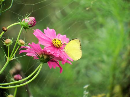コスモスの花に止まるキチョウ