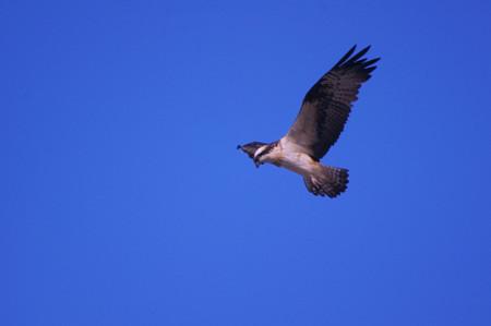 玉野市鴨川上空のミサゴ
