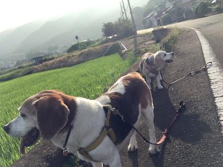 朝の6時台の散歩は強烈な暑さでした