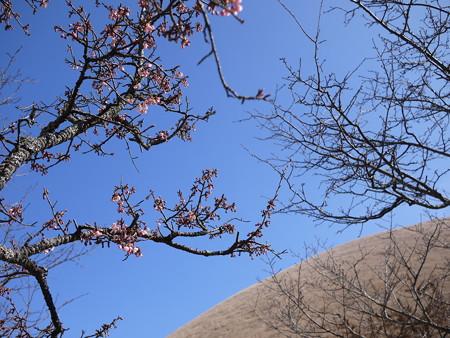 おお、桜の蕾が!