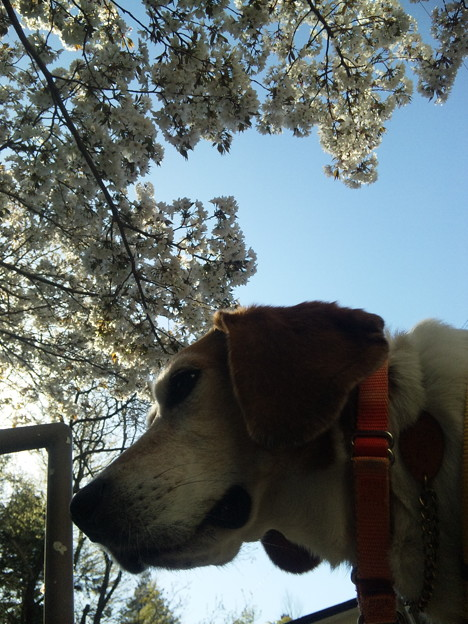 マリンと桜と手すり
