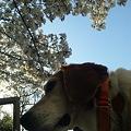 写真: マリンと桜と手すり