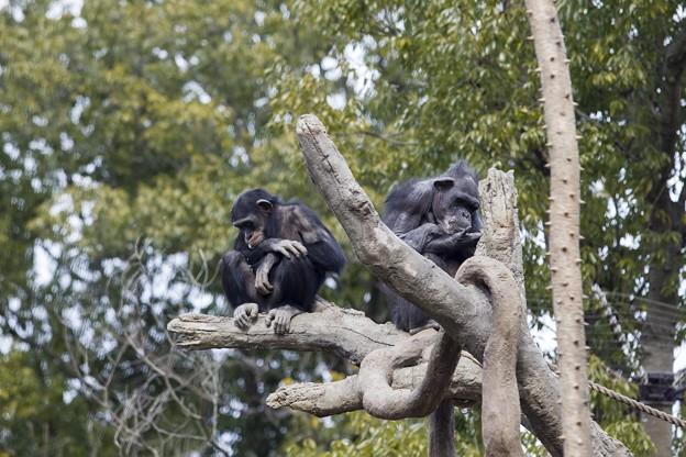 チンパンジー BPD74C8197