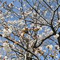 桜20100405