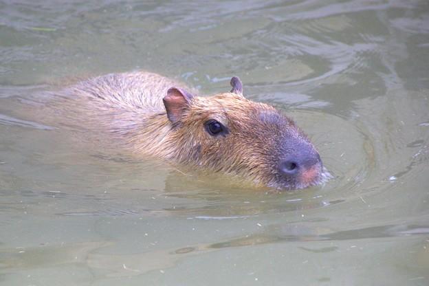 泳ぐカピバラさん