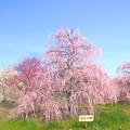 写真: 羽衣の梅~鈴鹿の森庭園