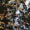 写真: 池を飾るモミジ