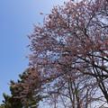 写真: 道後公園の桜2