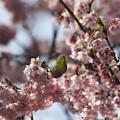写真: 桜にメジロ2