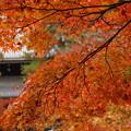 京都紅葉1
