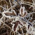 Photos: 霜の花