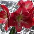 写真: 我が家の春