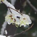 写真: 淡雪