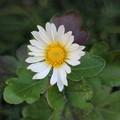 Photos: 季節外れの菊の花